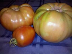 Monster tomatoes